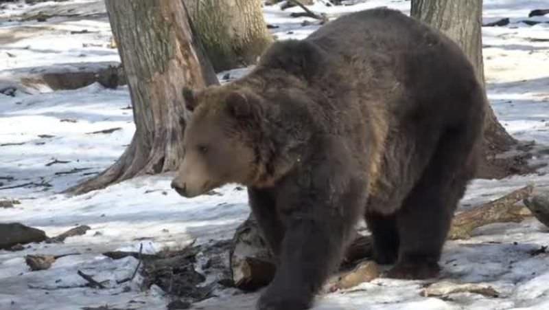 Urșii De La Zoo Târgu Mureș Au Făcut Prognoza Meteo De 10 Ani O