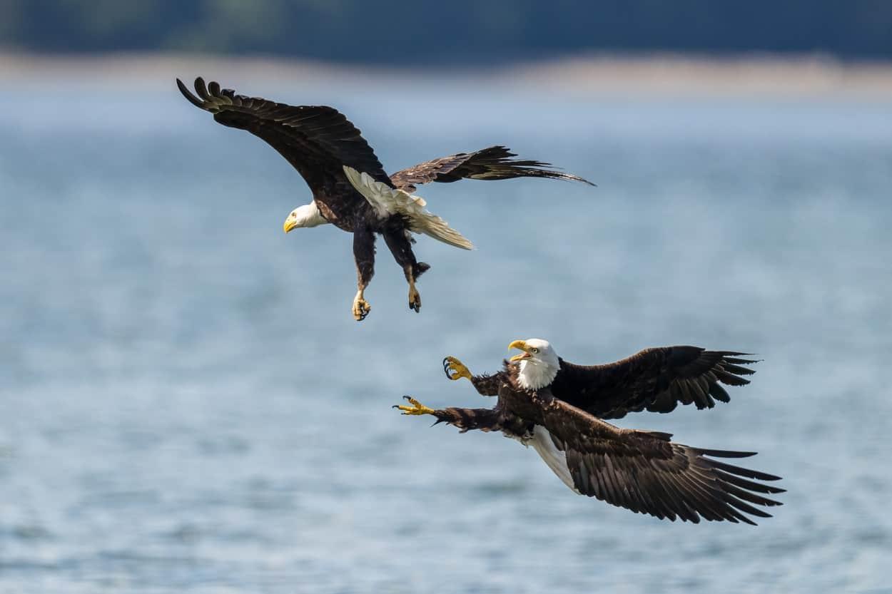 vulturi1